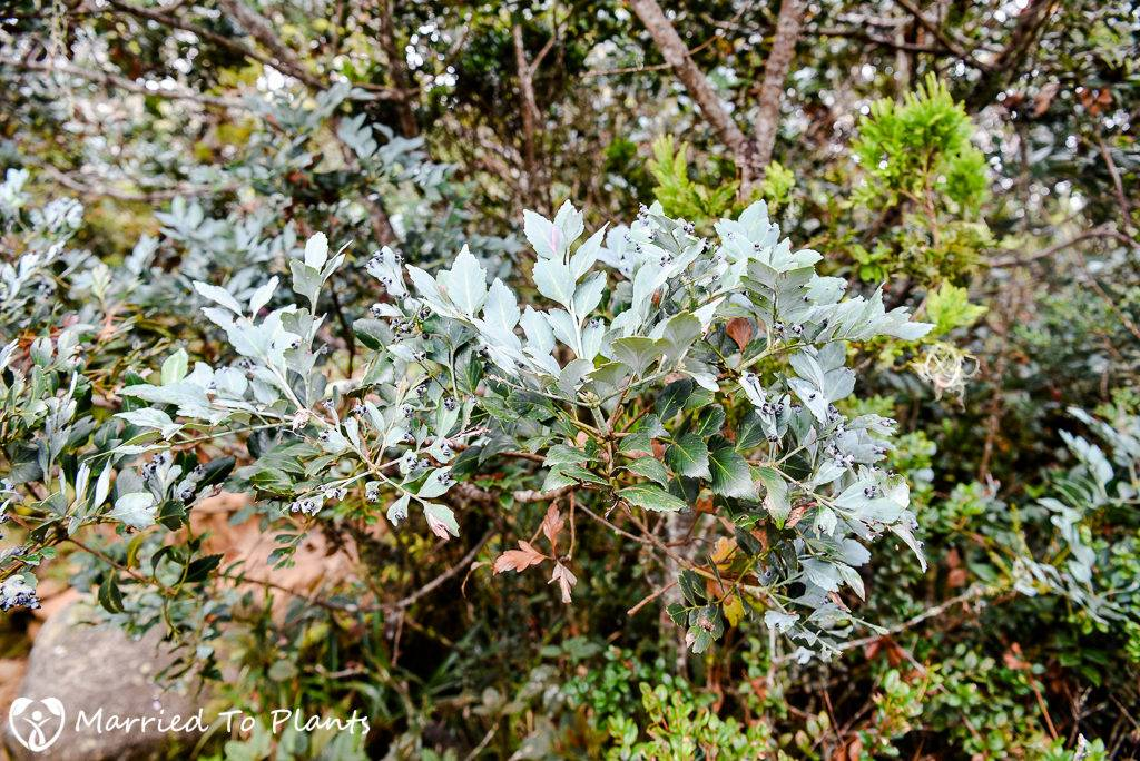 Mount Kinabalu Unknown Plant